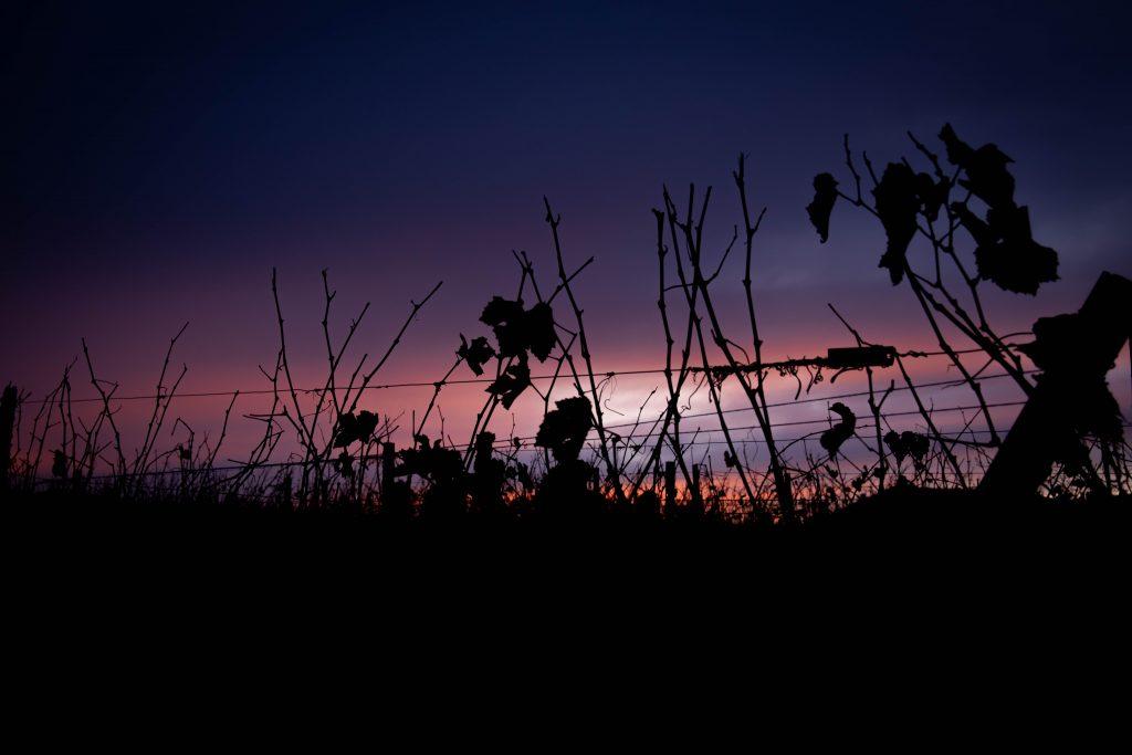Le soleil se couche sur les vignes